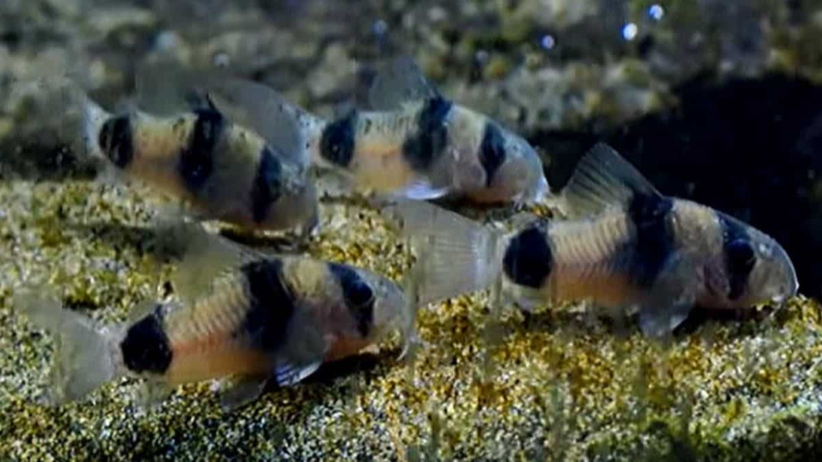 Two-Saddle Corydoras - Corydoras weitzmani